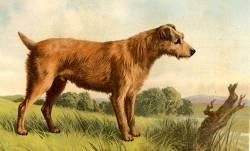 resizedimage250151-irish-terrier-1879_0